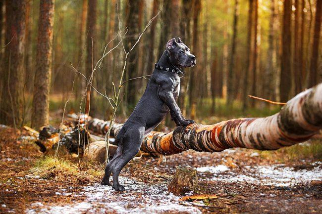 Кане корсо - потомок древнеримских боевых собак гладиаторов