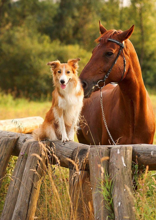 Собака породы колли и её друг красиво позируют перед камерой