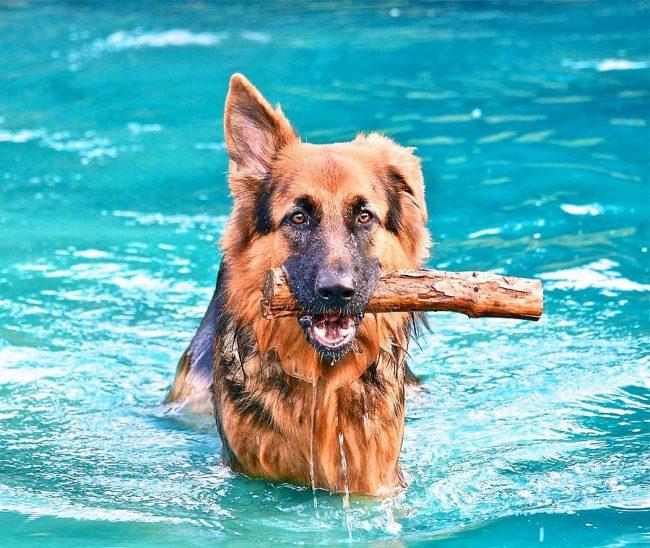 Умная немецкая овчарка с удовольствием будет прыгать в воду за брошеной палкой