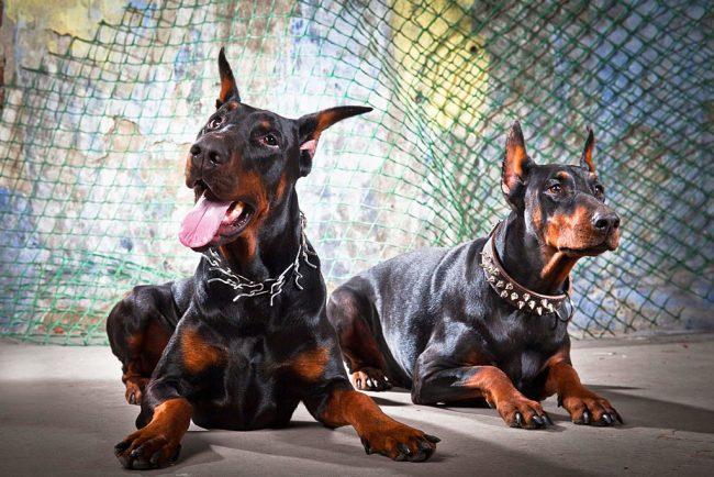 Бесстрашные доберманы - прекрасные сторожевые псы