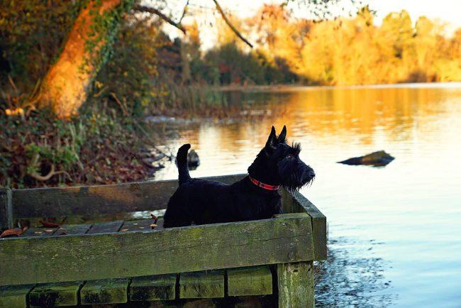Симпатичный скотч-терьер — выносливая собака с решительным и настойчивым характером