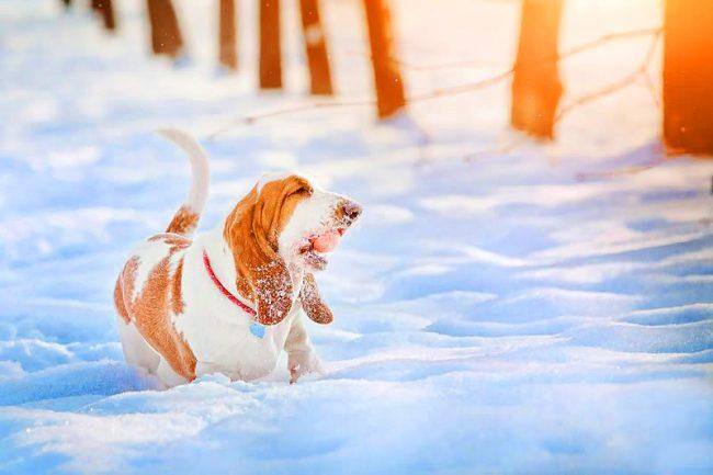 Веселый бассет-хаунд играет с мячиком на снегу