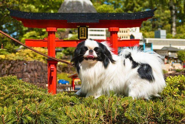 Маленький, но храбрый японский хин будет преданно защищать хозяев в любых опасных ситуациях