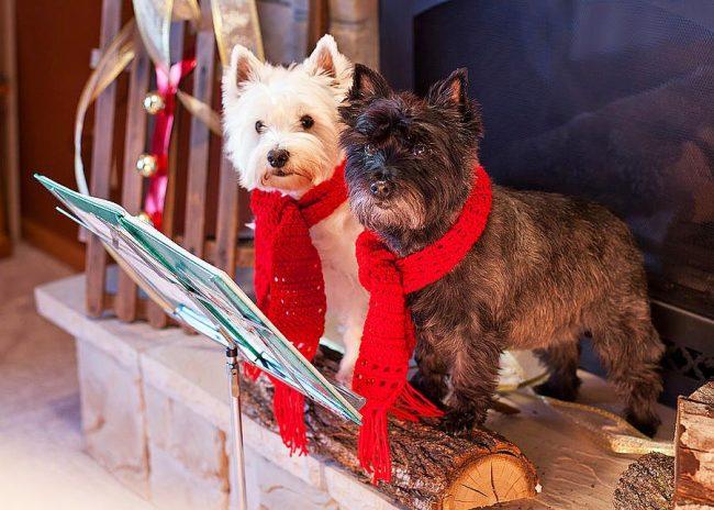 Дуэт вест-хайленд-уайт-терьеров исполняет рождественский лай для гостей