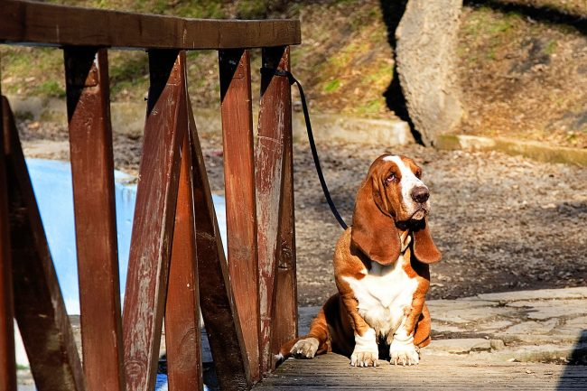 Бассет-хаунд обладает запоминающейся внешностью за счет длинных ушей и грустно-меланхолическому