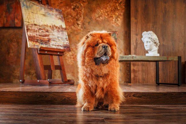 Чау-чау - пес обладающий творческими способностями