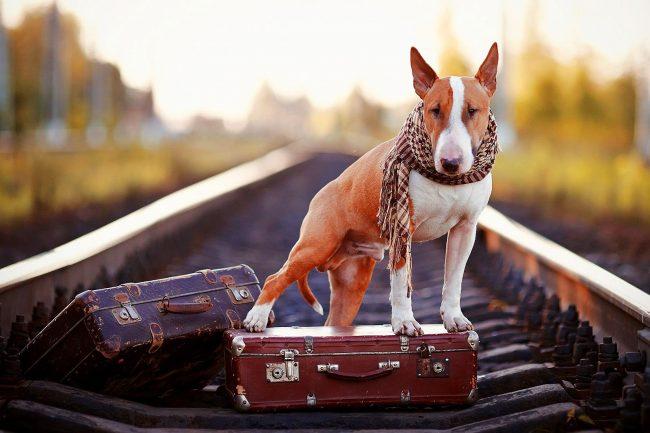 Бультерьер - известная на весь мир собака-путешественник