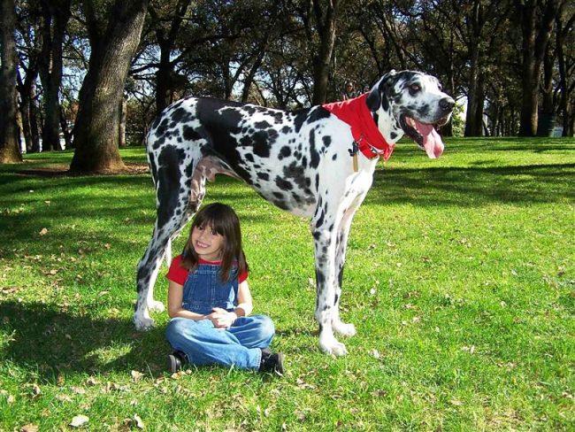 Несмотря на свои поистине гигантские размеры, Гибсон очень дружелюбный и спокойный пес