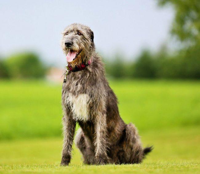 Ирландский волкодав — дома овечка, лев на охоте