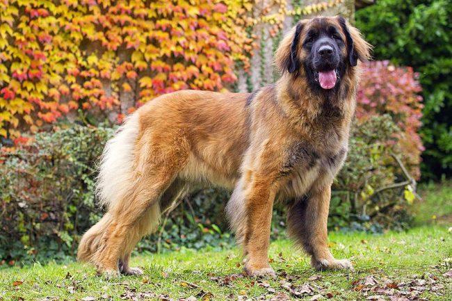 Леонбергер - сильная мохнатая собака с отважным сердцем