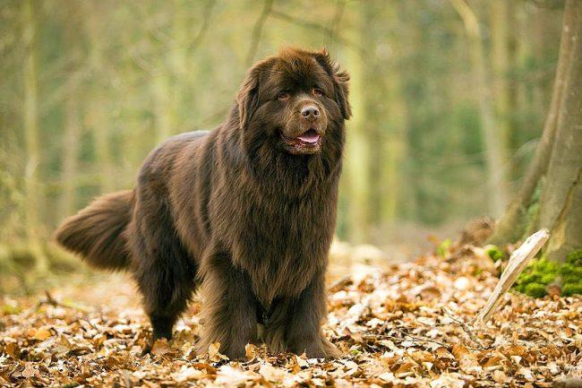 Ньюфаундленд - большая собака, которая имеет склонность к самостоятельному принятию решений в разнообразных ситуациях