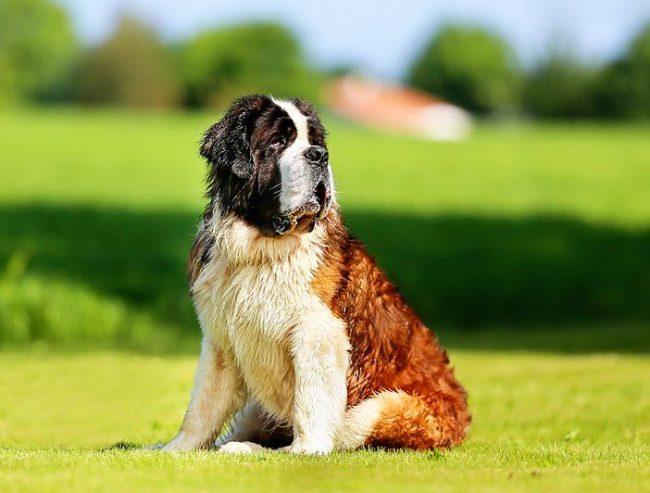 Сенбернар — преданная и очень послушная собака