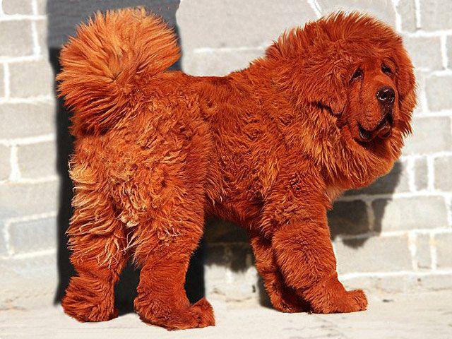 Тибетский мастиф Хонг Донг - самая дорогая собака в мире