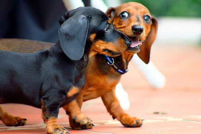 Энергичные и немного шаловливые щенки таксы, доставят радость как одиноким людям, так и членам большой семьи