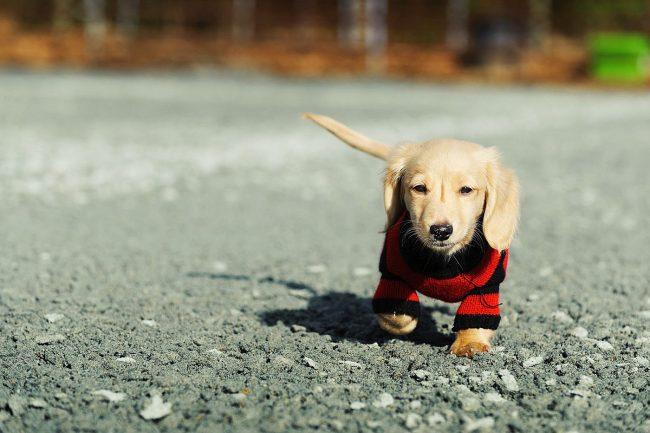 """На прогулках щенок таксы постоянно ищет какие-то норки, берет след, как бы играет сам с собой в """"охотника"""""""
