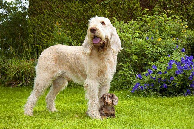 Щенок таксы – семейная собака, которая любит общение, прогулки и игры