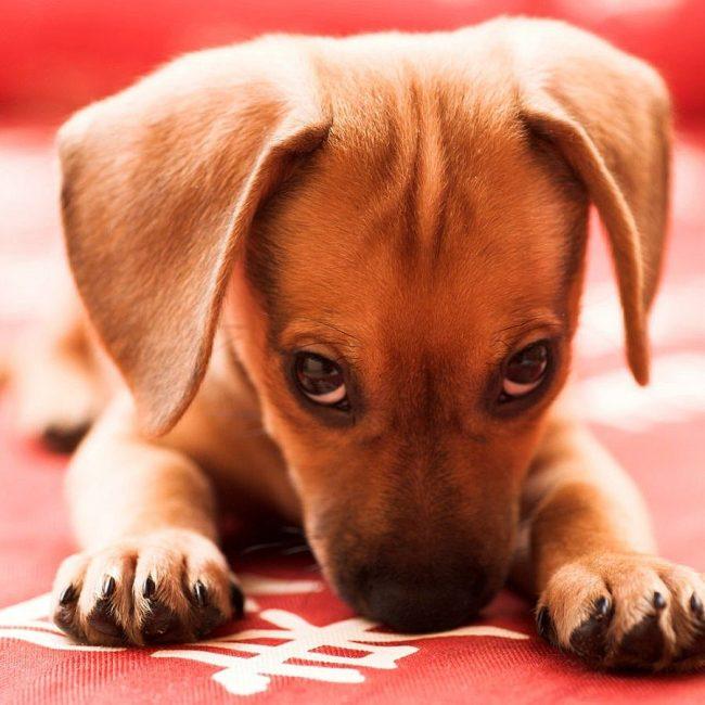 Когда смотришь в эти глаза-бусинки щенка, то прощаешь ему любые шалости