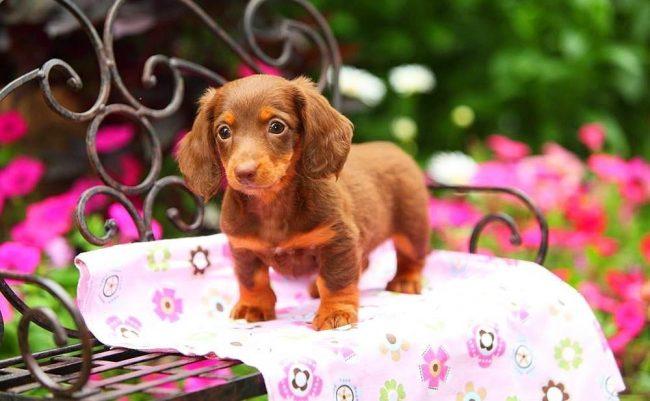 Чудесный щенок таксы - маленький трогательный комочек