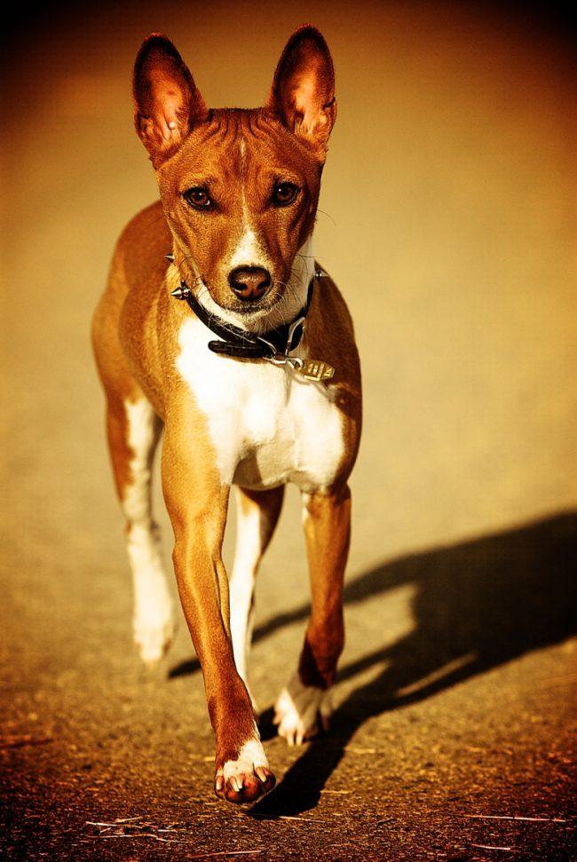 На любовь и теплоту хозяина собака басенджи отвечает своей преданностью и дружбой на всю жизнь