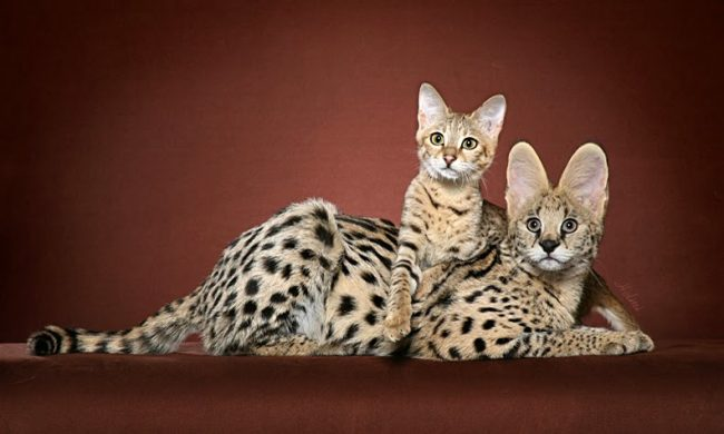 домашние большие кошки фото