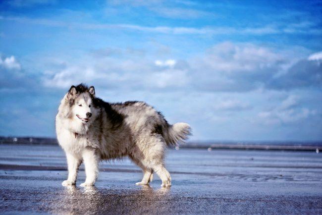 Собака аляскинский маламут - добродушная и преданная, ее отличает независимый характер