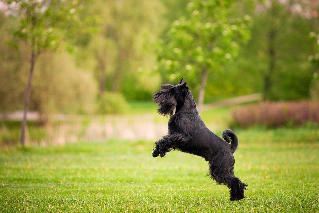 Миттельшнауцер легко учит и запоминает команды. Именно поэтому собаки данной породы часто выступают в цирке