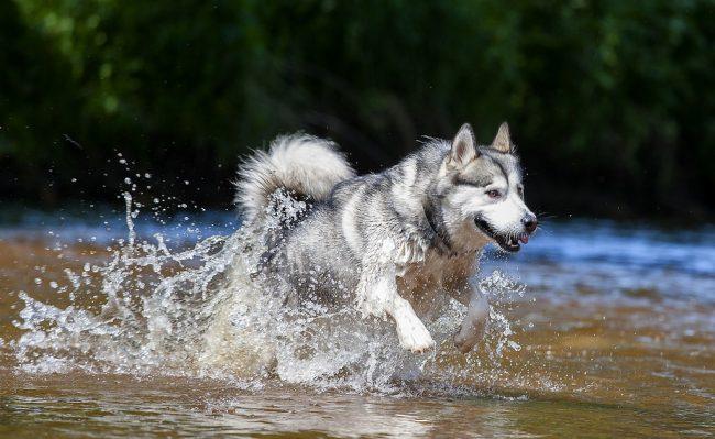 Аляскинский маламут - сильная и выносливая порода. Собаки легко могут тянуть упряжки с санями, катать велосипедистов, носить рюкзаки в походе