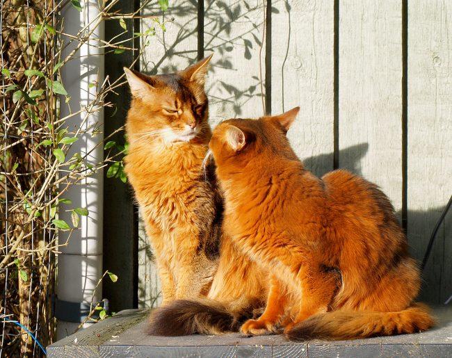 Прививка кошке от бешенства: когда делать, сколько действует