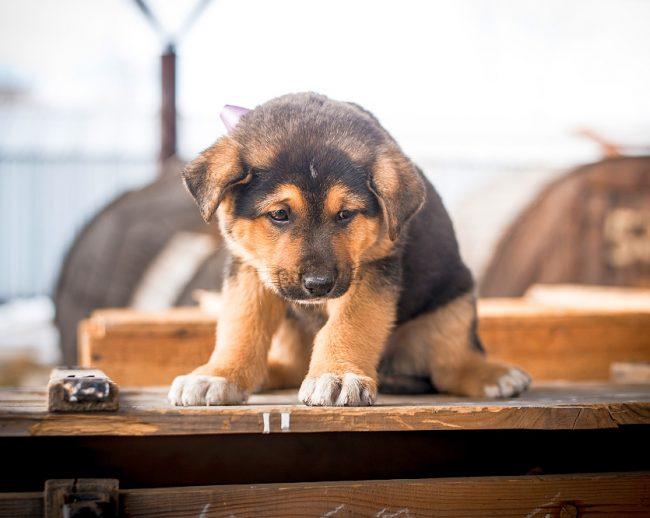 При выборе щенка обязательно стоит задуматься о том, есть ли у вас место для содержания овчарки, так как даже в просторной квартире ей будет не очень уютно