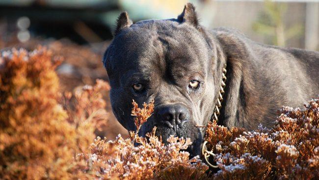 """Собака кане корсо хорошо понимает команды хозяина. Пес услышит вас, когда вы скажете """"успокойся"""", и будет вести себя очень тихо"""