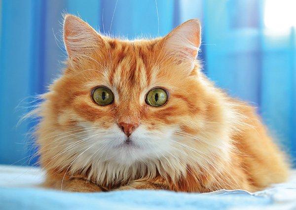 Поскольку шерстка у котиков сибирской породы густая и крепкая, особых проблем с уходом за ней не возникает – она редко собирается в колтуны и не выпадает клочьями при линьке. Однако ухаживать за ней все равно необходимо