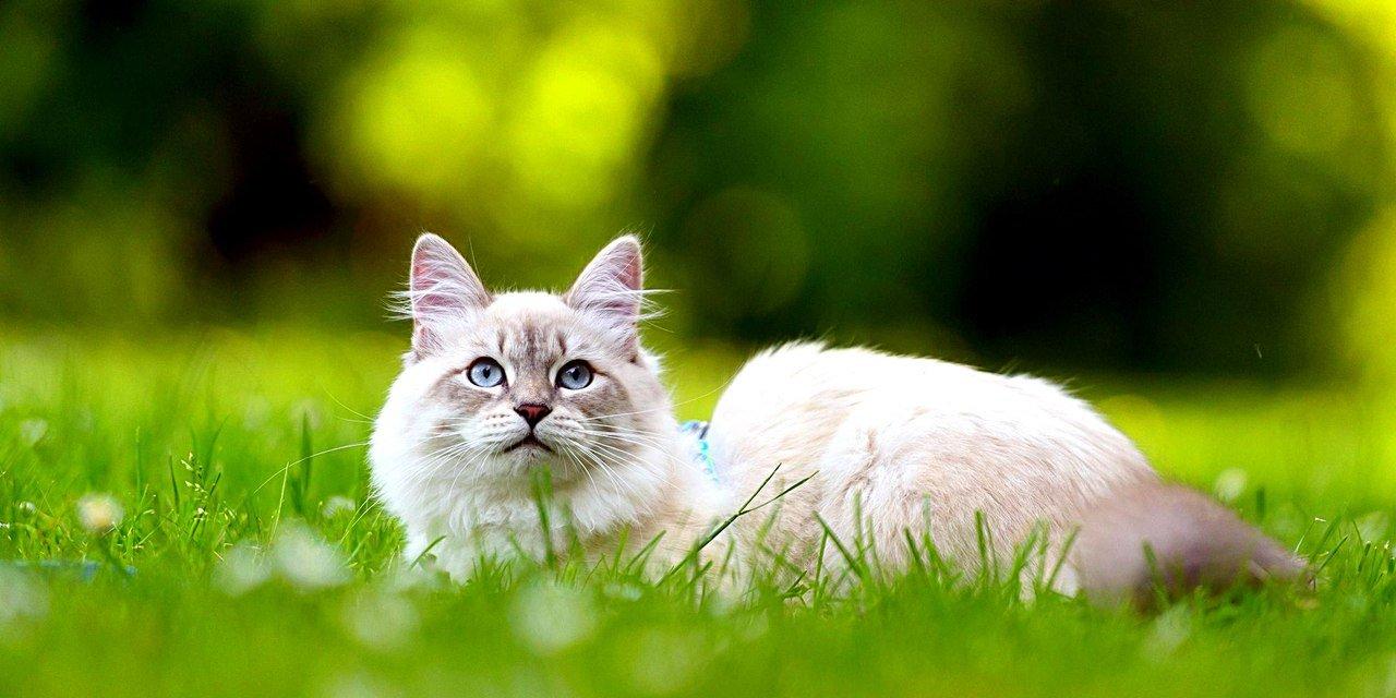 Сибирская порода кошек: характер, описание, стоимость, фото