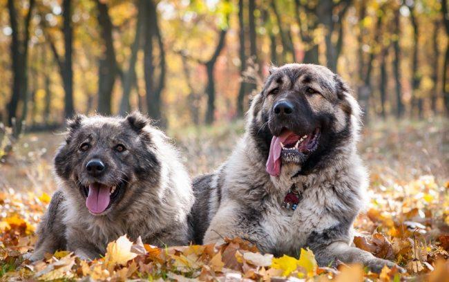 Несмотря на свой суровый вид, кавказская овчарка, при правильном воспитании, может быть не только хорошим охранником, но и верным другом