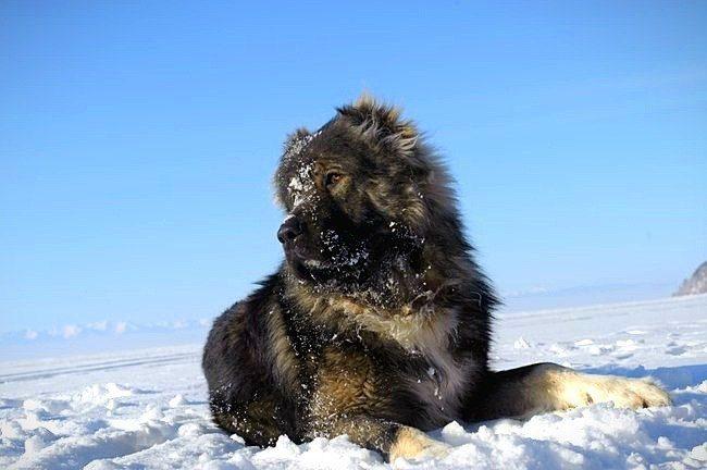 Кавказская овчарка требует много места и любит частые долгие прогулки