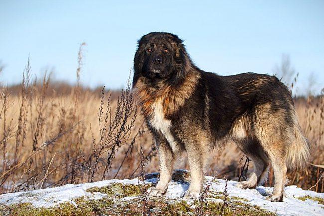 Кавказская овчарка очень любит находиться в компании, поэтому, даже если она живет во дворе или в саду, надо обязательно пускать ее в дом, а также чаще проводить с ней время