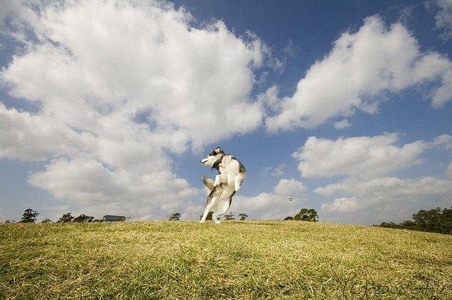 Аляскинский малмут требует длительных прогулок с физическими упражнениями. Однако не заставляйте собаку гулять в жару
