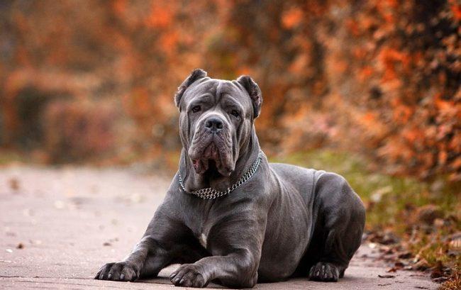 Собака кане корсо обладает невероятной силой и уравновешенным характером, поэтому это идеальный вариант в качестве собаки-телохранителя
