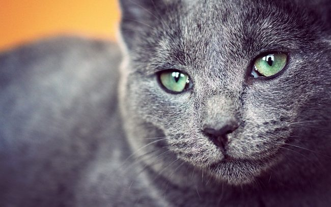 Русская голубая кошка привыкает к одному дому и плохо переносит переезды с места на место