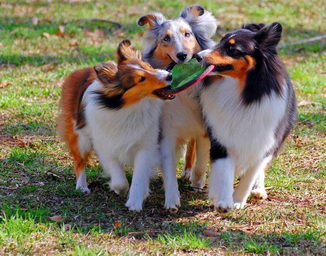 Шелти характерна чрезвычайная активность. Собачка просто не может сидеть на месте, она бегает, прыгает, всячески проявляет веселье и шумный нрав