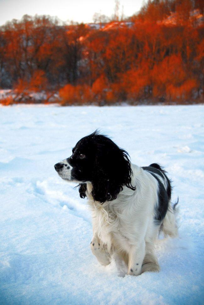 Даже в сильные морозы спаниелей не рекомендуется одевать в собачью одежду, это портит их шерсть