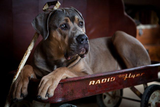 Собака кане корсо хорошо реагирует на детей и их шалости. Ее можно даже использовать в качестве четырехлапой няни