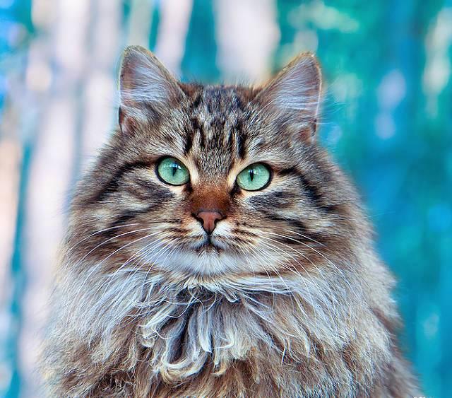Сибирская кошка всегда выбирает одного лидера «из стаи», т.е. к хозяину она будет верна, а вот к остальным членам семьи станет относиться снисходительно, а может даже и с ноткой превосходства