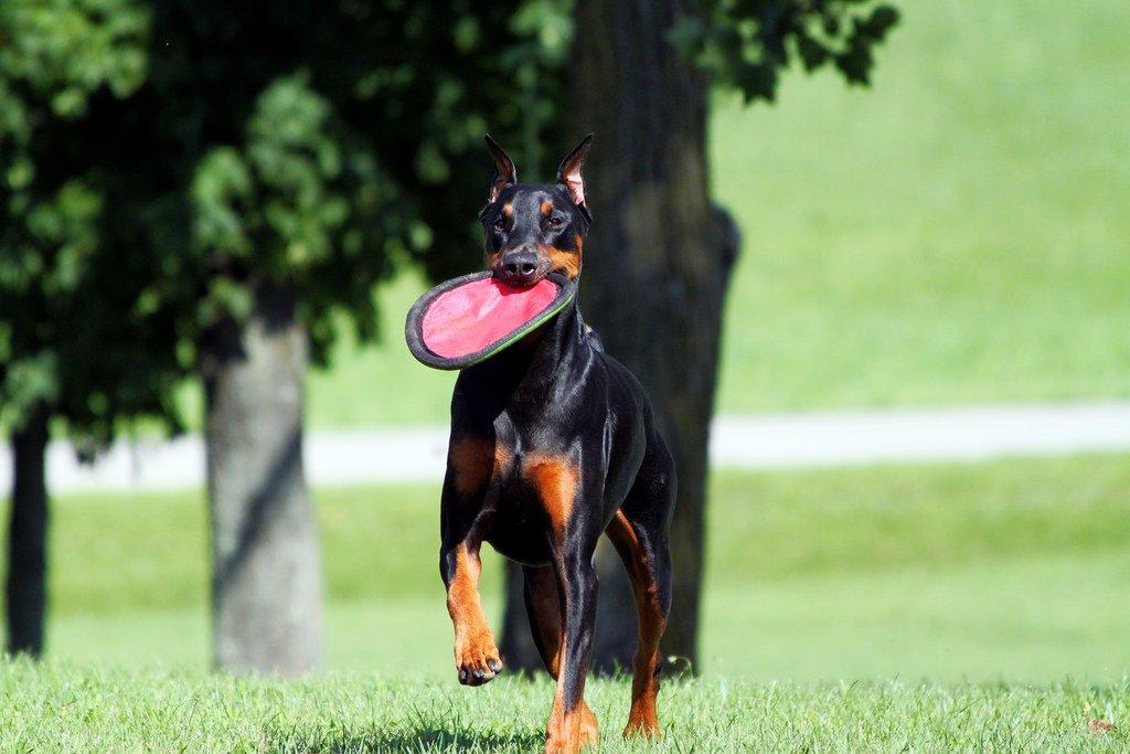 Доберман описание породы, характер собаки, фото, уход и здоровье