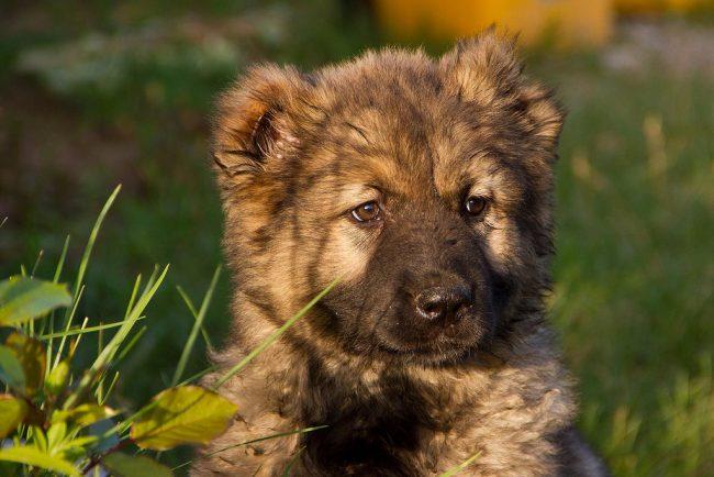 К выбору щенка нужно подходить очень тщательно и серьезно