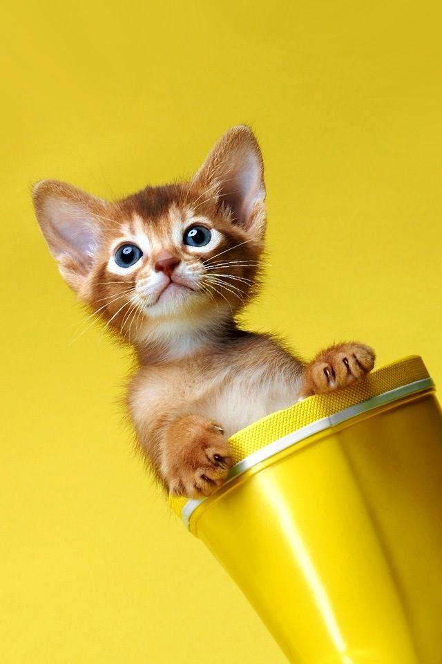 Котята абиссинской породы совсем еще не похожи на своих родителей: лопоухие, неуклюжие, смешные, в них нет той самой королевской грации