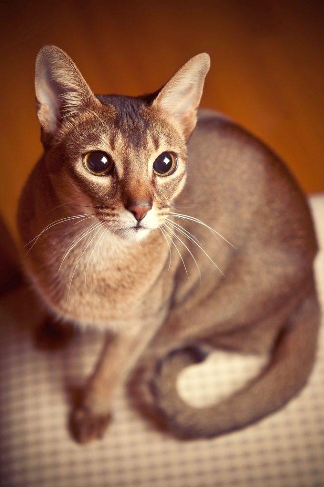 Абиссинский кот по своей натуре ловкий, сильный, гибкий и активный. Добавьте к этому любознательность и стремление привлечь внимание к своей особе