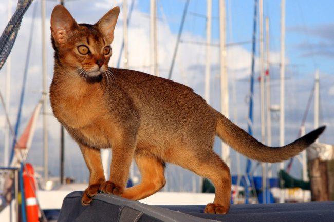 Абиссинский кот очень любознателен. Ему нужно непременно знать, что твориться вокруг, что в этот момент делает хозяин