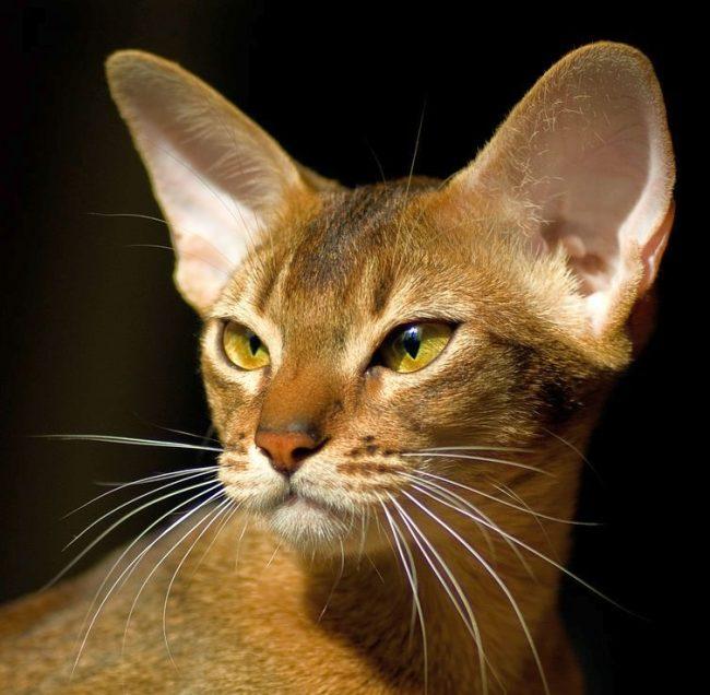 Абиссинская кошка великолепна в своей грации. Каждое ее движение исполнено чувством собственного достоинства. При этом она очень игривая и любознательная, умная и ласковая