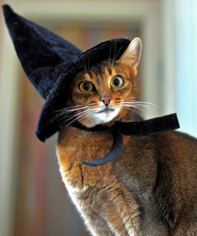 Абессинская кошка, как и всякая девушка, любит примерять различные образы