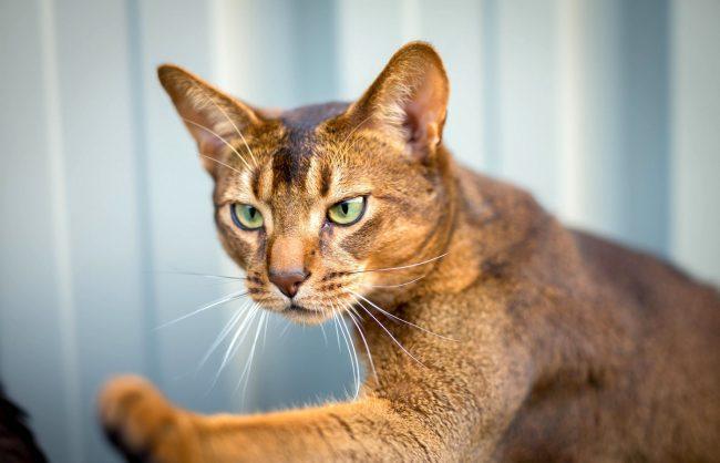 Абиссинской кошке постоянно недостает внимания. Она будет следовать за вами повсюду: в комнату и коридор, на балкон и на кухню. Встречая хозяина, кошка неизменно поздоровается, ласково промурлыкав
